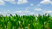 consumir : Green corn field on beautiful sunny and windy day with clouds on sky