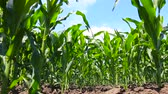 consumir : Green corn growth in line on agricultural field, shooting from a low angle