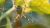 фобия : Spider on web in bushes awaits an insect to falls into a trap