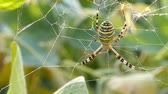 arrepiante : Spider on web in bushes awaits an insect to falls into a trap