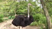 struś : Ostrich in Park, four video clips in one video footage Wideo