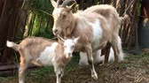 niania : Goat, Capricorn and Kids