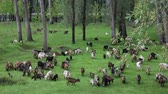 niania : Goats graze in the woods