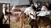 boynuzlu : Goats on Farm Stok Video