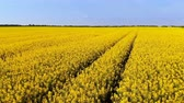 flower production : Aerial drone shot of beautiful yellow oil seed rape flowers in the field Stock Footage