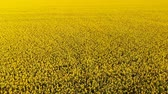 flower production : Aerial drone shot of beautiful oil seed rape flowers in the field like yellow carpet