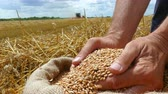 hozam : Wheat grain in a hand after good harvest of successful farmer, in a background agricultural machinery combine harvester working on field