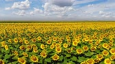 growing : Aerial drone shot of beautiful yellow sunflower field, countryside landscape