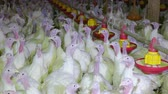 feeder : Flock of turkeys on farm Stock Footage