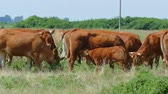Cows grazing on pasture, cow feeding calf