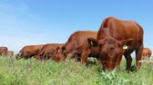 hoof : Cows grazing on pasture, landscape