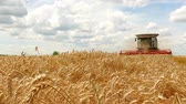 reaping : Combine harvester working on the wheat field Stock Footage