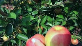 Woman picks apples in orchard and puts it in the wooden box