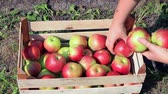 Apples in a wooden box after harvest, farmers picking apples in a orchard