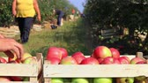 engradado : Apples in a wooden box after harvest, farmers picking apples in a orchard