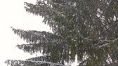 zúzmara : Snowing with spruce fir trees, snowflakes on the mountain, winter season