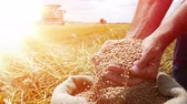 hozam : Harvest close-up of farmers hands holding wheat grains. Takes a lot of golden wheat grains from a sack, in a background agricultural machinery combine harvesters working on field, slow motion, sunset light, flare light Stock mozgókép