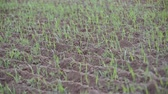 klíčky : Close-up of sprouted grains in the field. Green sprouts on dark soil. Sprouted wheat sprouts sway in the wind. Agriculture and harvest. Green field against a clear sky. Spring shoots. Wheat, oats, rye