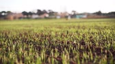 もやし : Close-up of sprouted grains in the field. Green sprouts on dark soil. Sprouted wheat sprouts sway in the wind. Agriculture and harvest. Green field against a clear sky. Spring shoots. Wheat, oats, rye
