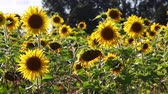 botany : Field of sunflowers on a meadow