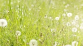 Боке : Dandelion in a green field. slide from right to left. dust partical and color edit. Стоковые видеозаписи