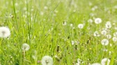 выстрел : Dandelion in a green field. slide from right to left. dust partical and color edit. Стоковые видеозаписи