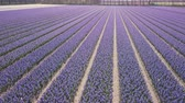 blooming : purple hyacinth field in netherlnds. drone fly