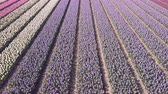 цвести : purple hyacinth field in netherlnds. drone fly