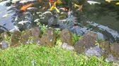 Bank of exotic Koi fish swimming in an ornamental pond.