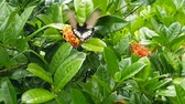 Following a black and white striped butterfly fly around bright orange flowers in a tropical forest.
