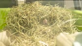 como : Cinemagraph - Hamster coming out of his nests. Cinemagraphs are still photographs in which a minor and repeated movement occurs. Stock Footage