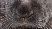 como : This is the nose of a giant rabbit flanders black colors. Close-up on the muzzle, filmed very close.