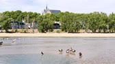 gansos : Landscape of Orleans, French city. Birds are in the foreground, in the Loire river. Vídeos