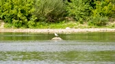 rivet : A seagull sits on a rock in the Loire River, in Orleans, France. Stock Footage