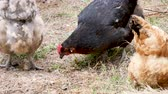 kümes hayvanları : Outdoor domestic animals are looking for food and are eating grass. Stok Video