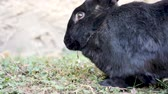 ушки : A black Flemish Giant rabbit is eating in a garden. The Flemish Giant rabbit is a very large breed of domestic rabbit is considered to be the largest breed of the species.