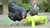 Domestic hens drink water from a container. The chickens are in a garden.