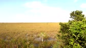krokodyl : Amazing landscape in the Everglades of South Florida Wideo