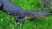 vegetação : Wild animals in the swamps near New Orleans - alligator