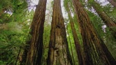 reus : Redwood Forest - de gigantische bomen in Calfornia Stockvideo