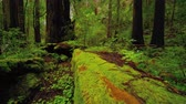vegetação : Beautiful nature at Redwood Forest