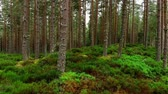 çayır : Smooth walk through a fir forest in Scotland - pure nature