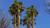 maldivas : Palms waving in the wind on a sunny day Stock Footage