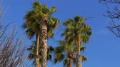 maiorca : Palm trees on a windy day Stock Footage