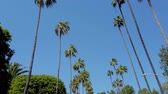 miljonair : The Palm trees of Beverly Hills - travel photography
