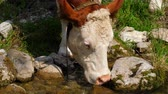 スイス : Cattle drinking water from a creek in Switzerland
