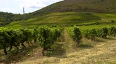 winorośl : Vineyards in the hills of Portugal - beautiful nature