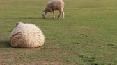 handheld : cute sheep resting in round shape on ground, handheld HD