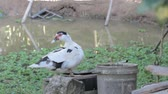 pato real : Muscovy duck Cairina moschata drinks water by the pond