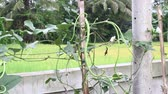 ipomoea : Yardlong bean Vigna unguiculata ssp. sesquipedalis. The crisp, tender pods are eaten both fresh and cooked.